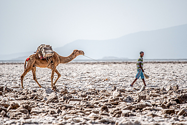 A salt miner leads a camel (camelus) Danakil Depression, Ethiopia