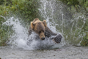 Brown bear chasing salmon in river, Alaska