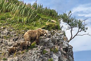 Brown bear and cubs on the slopes of Katmai, Alaska