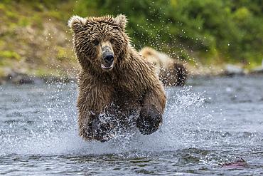 Brown bear fishing salmon in river, Alaska