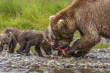Brown bear mother feeds cubs with salmon, Alaska