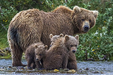 Brown bear mother and cubs in river, Alaska