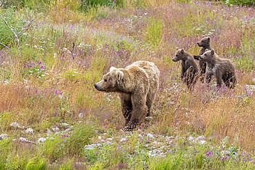 Brown bear with cubs in the meadows of Katmai wilderness, Alaska