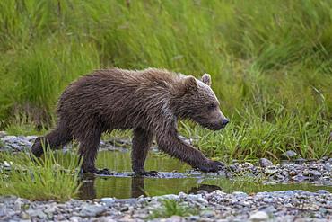 Brown bear cubs in river, Alaska