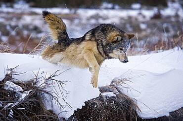 Male Gray Wolf (Canis lupus) Grey Wolf leaping from creek bank in fresh falling snow, Montana, USA.