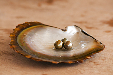 Pearls on oyster shell at Civa Fiji Pearls Ltd., Taveuni, Fiji.