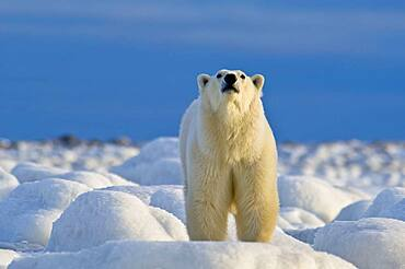 Polar Bear (Ursa maritimus) on sea ice off the sub-arctic coast of Hudson Bay, Churchill, Manitoba, Canada. Bears come to the coast of Hudson Bay in Fall waiting for the ice to freeze, and looking for a careless seal or dead whale to wash up. Global warming has shortened their winter so they are increasingly anxious as they wait for winter. While they wait, they engage in frequent wrestling matches to determine a mating hierarchy for the breeding season in March and April, and regularly check on the ice to see if it will carry them out to sea.