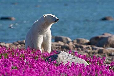Polar Bear (Ursa maritimus) in fireweed (Epilobium angustifolium) on an island off the sub-arctic coast of Hudson Bay, Churchill, Manitoba, Canada.