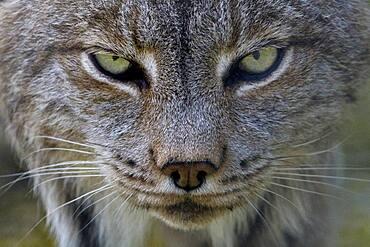 Canadian Lynx (Lynx Canadensis) with wary stare, Assiniboine Park Zoo, Winnipeg, MB, Canada