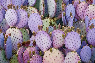 Santa-rita or Purple Prickly Pear Cactus (Opuntia violacea var santa-rita).