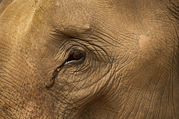 Close-up of elephant eye and skin at Patara Elephant Farm; Chiang Mai, Thailand.