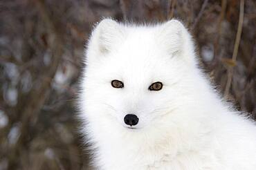 Arctic Fox (Vulpes lagopus) portrait, Hudson Bay, Canada.