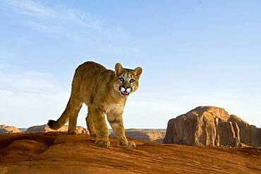 Mountain Lions in the mountains of Montana, United States