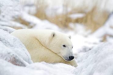 Polar Bear (Ursa maritimus) resting on ice covered rock near Hudson Bay coast, Churchill, Manitoba, Canada.