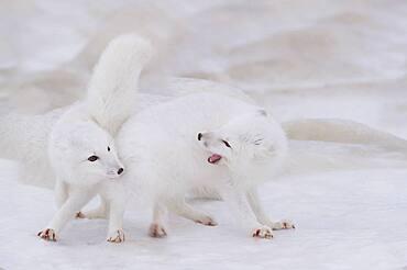 Arctic Fox (Vulpes lagopus) pair courtship, Hudson Bay, Canada.