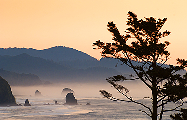 Shorepine and sea stacks at Cannon Beach from Ecola State Park at sunrise; Oregon.