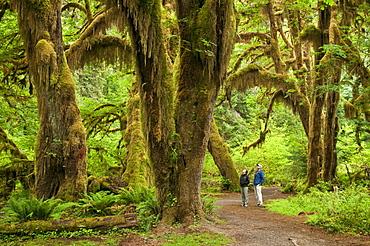 Bigleaf maple trees, Hall of Mosses Trail, Hoh Rainforest, Olympic National Park, Washington.