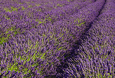 Pelindaba Lavender Farm, San Juan Island, Washington.
