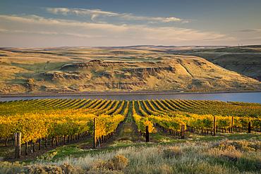 Maryhill Vineyards overlooking the Columbia River; Maryhill, Washington.