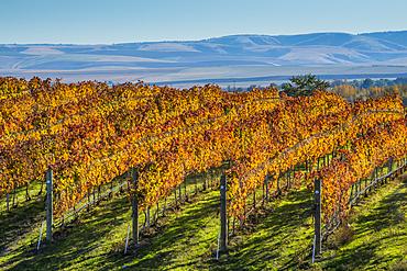 Rows of wine grape vines at Waters Vineyards; Walla Walla, Washington.