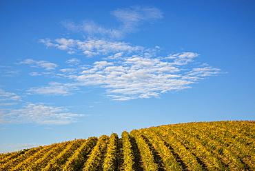 Rows of grape vines at Spring Valley Vineyards, Walla Walla County, Washington.