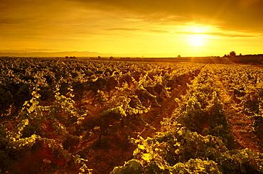 Rows of wine grape vines at sunset, Hyatt Vineyards, Yakima Valley, Washington.