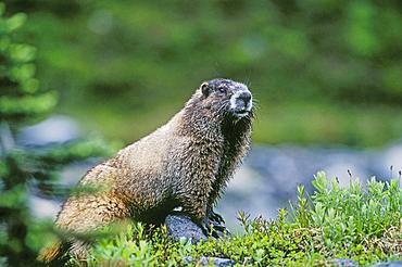 Hoary Marmot (Marmata caligata). Mount Rainier National Park, Washington. .