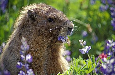 Hoary Marmot (Marmata caligata) eating Lupine flowers along Alta Vista Trail in the Paradise area of Mount Rainier National Park, Washington..