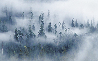 Forest and fog above Hoh River, from Spruce Nature Trail; Olympic National Park, Washington.