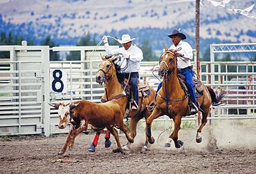 Cowboys in calf roping event at Pi-Ume-Sha Treaty Days Celebration all-Indian rodeo; Warm Springs Indian Reservation, central Oregon.