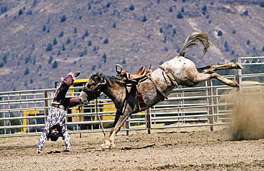 Cowboy thrown from horse during bronc riding event at Pi-Ume-Sha Treaty Days Celebration all-Indian rodeo; Warm Springs Indian Reservation, central Oregon.