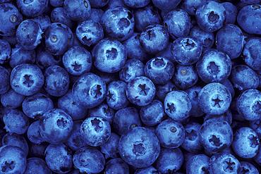 Blueberries from U-Pick farm; Alvadore, Willamette Valley, Oregon. .