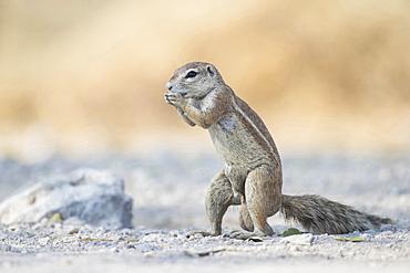 Cape Squirrel (xenus inauris) in Etosha National Park, Namibia.