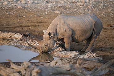A black rhino (Diceros bicornis) in Etosha national park, Namibia