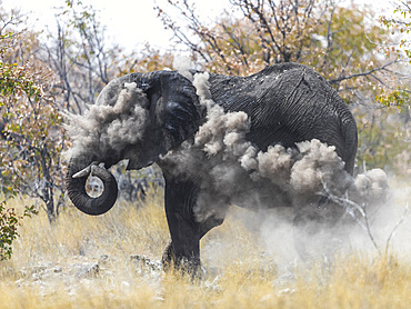 An elephant (loxodonta africana) throws dust on to protect itself from the sun during noon, Etosha National Park, Namibia