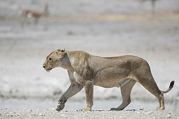 A lioness walks with impalas behind her, Etosha National Park, Namibia