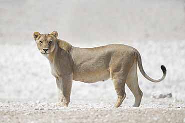 A lioness (panthera leo) looking at camera in Etosha National Park, Namibia