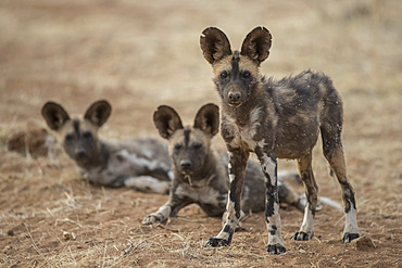 African wild dogs (lycaon pictus) in Erindi private game reserve, Namibia