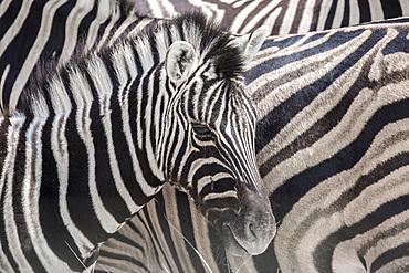 Baby zebra (equus quagga) framed in zebra patterns in Etosha, Namibia