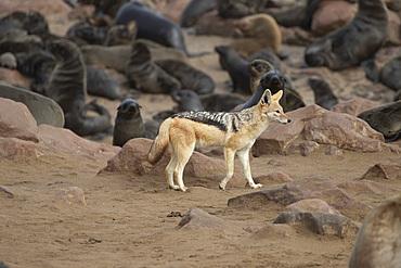 Golden jackal (canis aureus) hunting seals in Cape Cross, Namibia