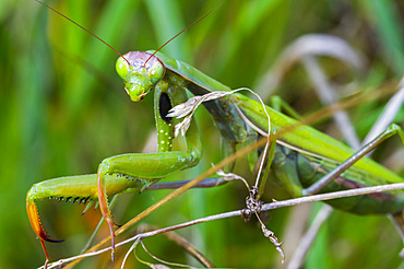 European mantis or praying mantis (Mantis religiosa).
