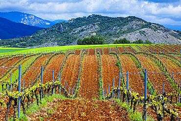 Vineyard. Ayegui, Estella comarca, Navarra, Spain, Europe