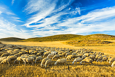 Flock of sheep in a cereal land. Tierra Estella county. Navarre, Spain, Europe