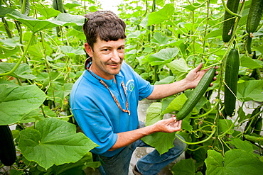 Man holding hydroponic cucumber in greenhouse in Cordova, Maryland, USA
