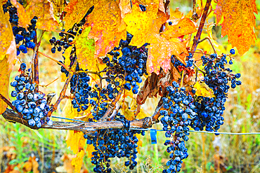 Vines and grapes in autumn. Ayegui, Navarre, Spain, Europe