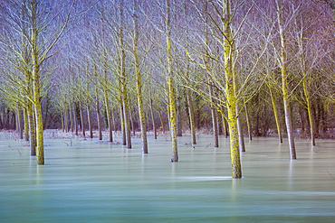 Flood poplar grove in the Urederra river banks. Allin, Navarre, Spain, Europe