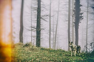 Wolf dog in a beechwood. Señorio de Bertiz Natural Park. Navarre, Spain, Europe