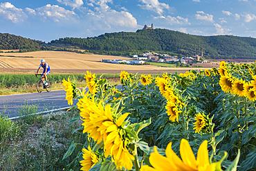 Cyclist and sunflowers crop, Sorlada village and San Gregorio monastry. Tierra Estella. Navarre, Spain, Europe