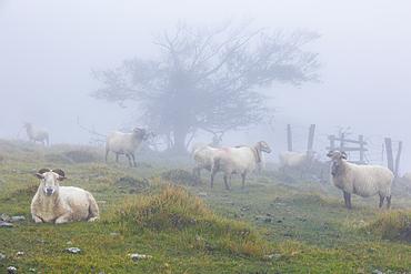 Latxa sheep in the mist. Navarre, Spain