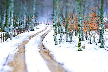 Path and beechwood in winter. Urbasa y Andia Natural Park. Navarre, Spain, Europe